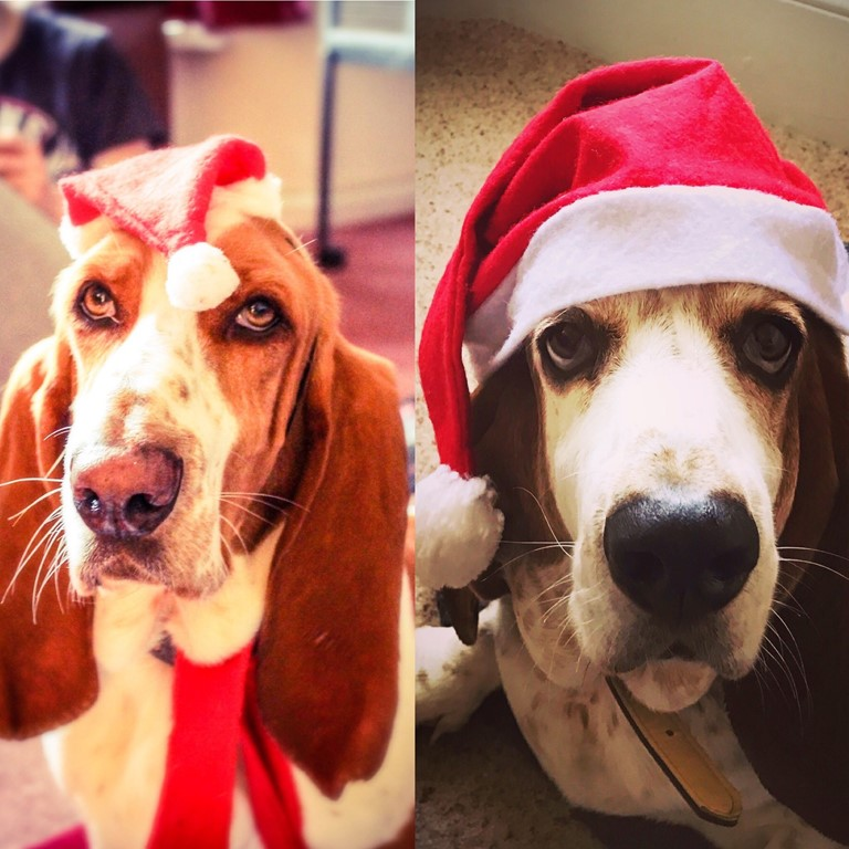 Two Basset Hound Dogs in Santa Hats