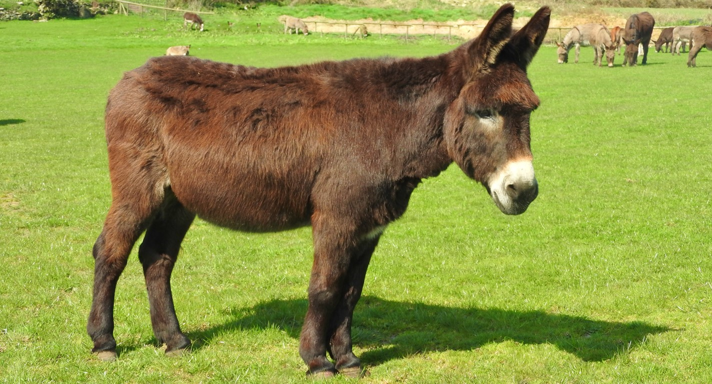 Brown donkey standing in a field